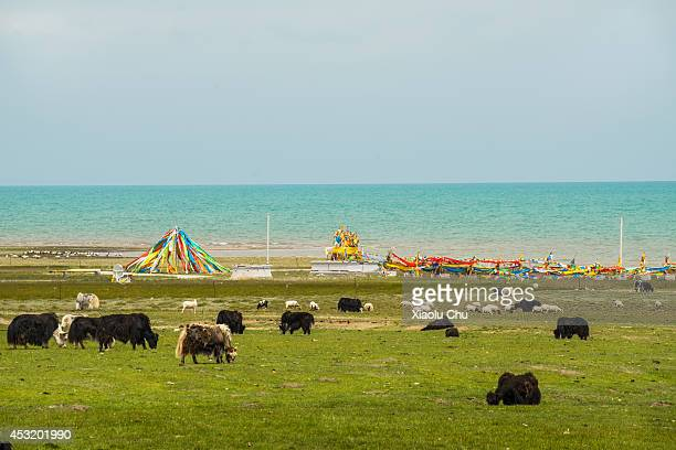 A general view of yaks and prayer flags at the shore of Qinghai Lake Qinghai Lakethe sacred lake of the Tibetan Buddhism is the largest salt lake in...