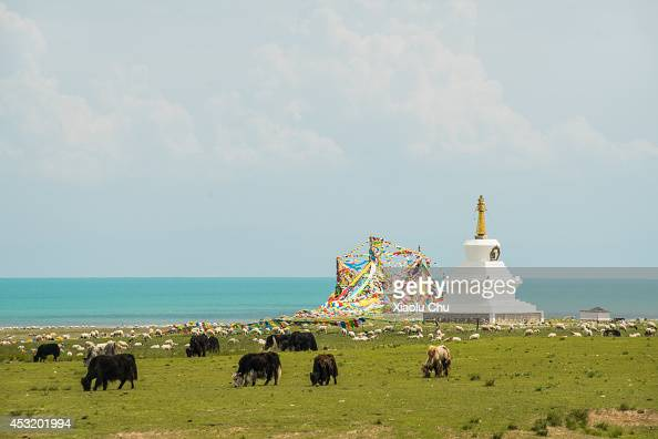 A general view of yaks and Tibetan Buddhism pagoda at the shore of Qinghai Lake Qinghai Lakethe sacred lake of the Tibetan Buddhism is the largest...