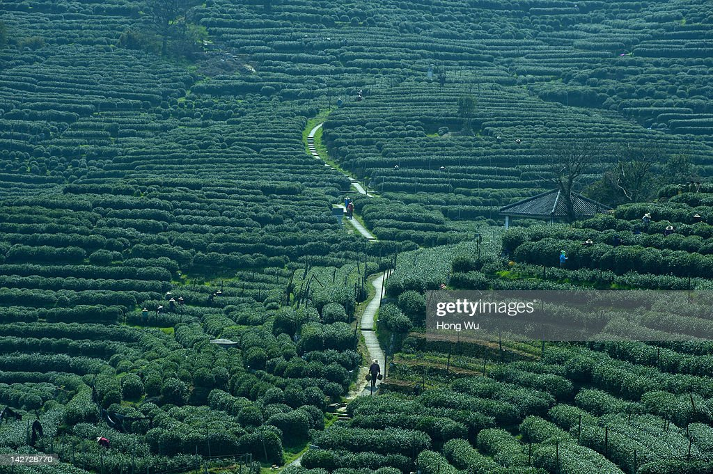 A general view shows Chinese migrant workers pluck Longjing tea leaves at a tea garden of the Wengjiashan Mountain on March 31, 2012 in Hangzhou, China. Longjing is a green-tea, often called Dragon Well tea. The tea is typically picked by hand, and is of a high quality, earning the title of China Famous Tea. The Longjing tea begins to pluck before Chinese traditional Qingming Festival, the 15th day from the Spring Equinox or usually occurring around April 5. Many Chinese migrant workers from Jiangsu, Anhui, Jiangxi and other neighboring provices have been employed with 80 RMB yuan(US$12.68) to 120 RMB yuan(US$ 19.03) per day to pluck fresh Longjing tea leaves for villagers in many Longjing tea production villages in the outskirts of Hangzhou. The price of Longjing tea rose in recent years which aims to become to luxury goods. A high-end Longjing tea in Hangzhou sold for 50,000 RMB yuan(US$ 7930) half a kilo in 2012, the price rose 70 times in the last 12 years.