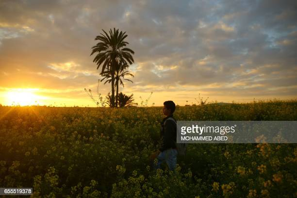 TOPSHOT A general view taken in Beit Hanun on March 20 2017 shows a young boy walking amidst wild mustard flowers which grow in fields across the...
