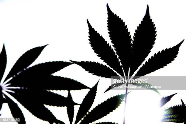 A generic photo of a Cannabis plant Believed to have originated in the mountains of India Cannabis has been a controlled substance in the UK since...