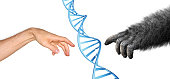 Human and gorilla hand reaching to touch, with a DNA spiral between them.