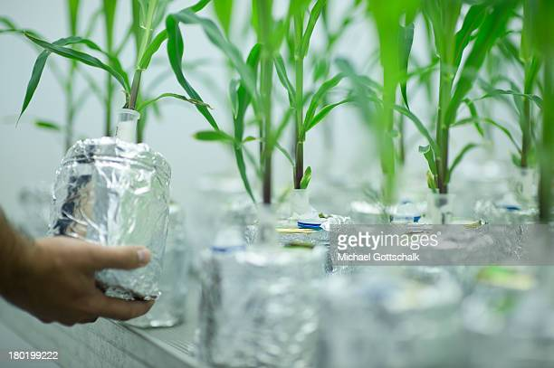 Genetically modified corn plants grow as part of a comparative tests of genetically modified plants and plants with are not altered in a laboratory...