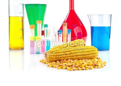 Genetically modified organism - maize and laboratory glassware : Stock Photo