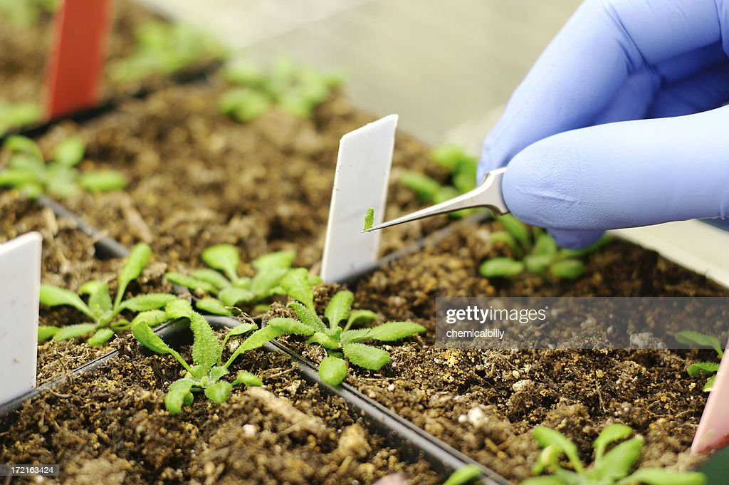 De plantes génétiquement modifiées : Photo