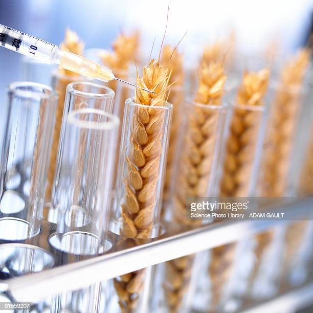 Genetically modified wheat in tube