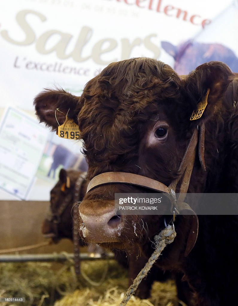 A genetically selected hornless bull is presented at the Paris International Agri-business Show (SIMA), which is part of the yearly International Agriculture Fair of Paris, on February 24, 2013, in Villepinte, a Paris suburb. The events runs from February 23 to March 3, 2013.