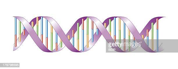 Genetics Dna Structure Of The Dna In Double Helix Bases Are Adenine Blue Thymine Red Cytosine Orange And Guanine Green