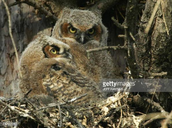 Two young Great Horned Owls sit in their nest at Kane County Courthouse 26 March 2007 in Geneva Illinois The owls can range in length from 45 to 65...
