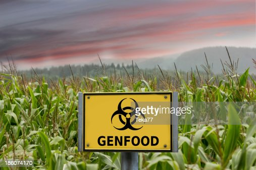 Genfood biohazard sign in a cornfield : Stock Photo