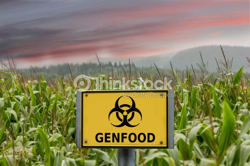 Genfood biohazard sign in a cornfield : Stock Photo