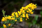 gros plan d'une branche de genêt en fleur au printemps en Corse