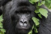 Mountain Gorilla (Gorilla beringei beringei) of Rwanda.