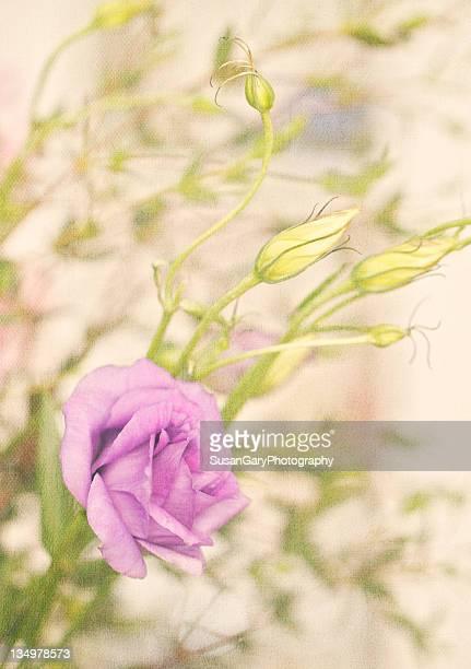 Gentle lisianthus