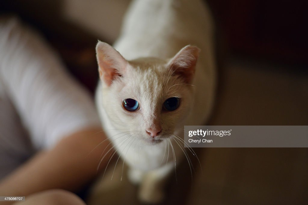 gentle white cat : Stock Photo