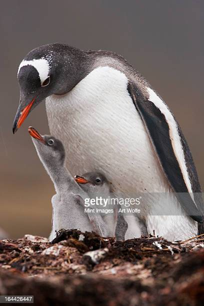 A Gentoo penguin and two chicks on South Georgia Island. on the Falkland islands