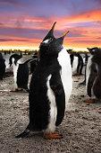 Gentoo Penguin Chick Calling, Falkland Islands (Islas Malvinas), British Overseas Territory