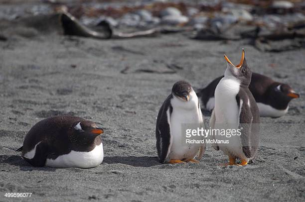 Gentoo penguin family.