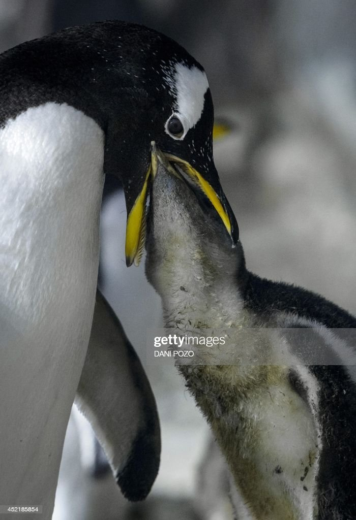 A Gentoo penguin feeds a chick at the Faunia park zoo in Madrid on July 15, 2014. For the first time since the inauguration of the park in 2001, three couples of Gentoo penguins have hatched two penguin chicks. With these rare multiple births, the park's penguin population has increased by nine Gentoo chicks this summer, while two Humboldt, vulnerable species according to the IUCN Red List of Threatened Species, and one Magallanico were also born. AFP PHOTO / DANI POZO