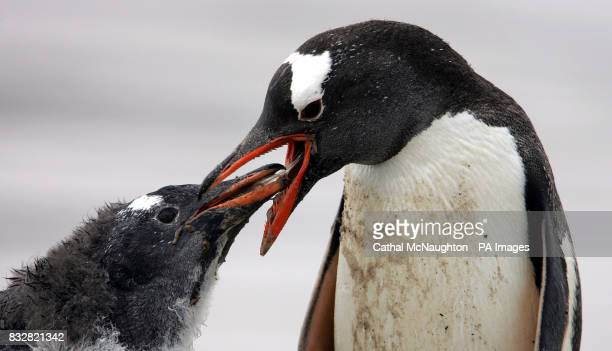 A Gentoo Penguin feeds its chick at Saunders Island Falkland Islands