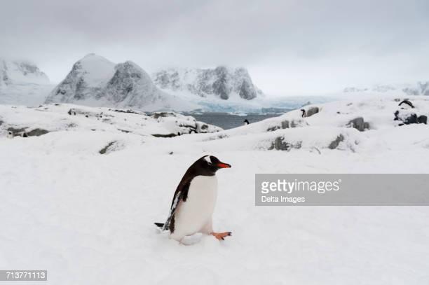 Gentoo penguin (Pygoscelis papua) in snowy landscape, Petermann Island, Antarctica