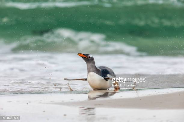 Gentoo penguin in surf