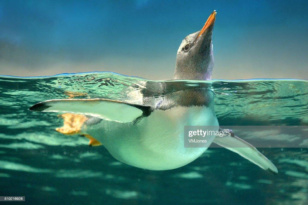Gentoo Penguin in Water : Stock Photo