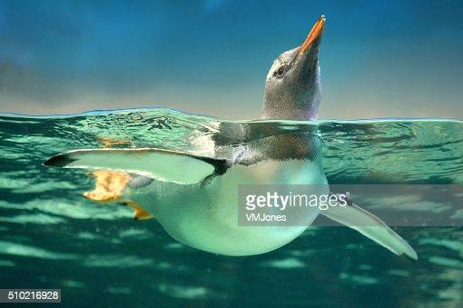 ジェンツーペンギン水に
