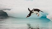 Gentoo Penguin jumping in the water from iceberg in Antarctica