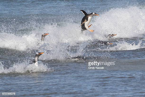Gentoo Penguin Jumping to Shore with Other Penguins in the Surf