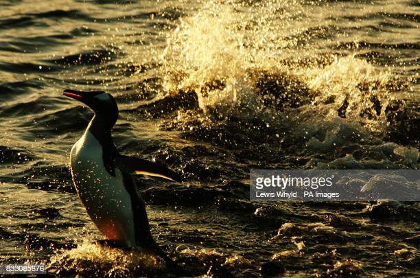 A Gentoo penguin leaps out of the ocean at New Haven in the Falkland Islands