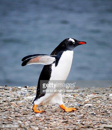 Gentoo penguin, New Haven, East Falkland / Falkland Islands : Stock Photo