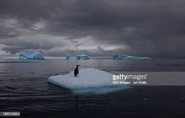 Gentoo penguin on an iceberg, Antarctica