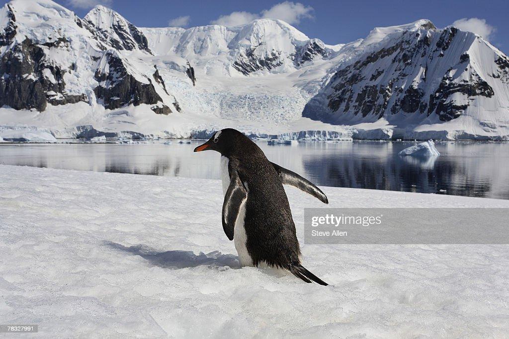 Gentoo penguin on Danko Island in Antarctica : Stock Photo