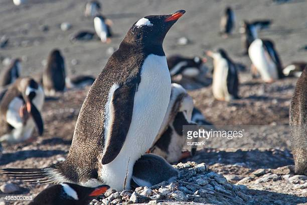 Gentoo penguin protecting its chick
