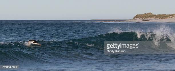 Gentoo Penguin Riding the Surf