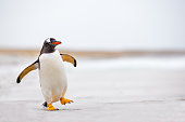 Gentoo Penguin (Pygoscelis papua) waddling along on a white sand beach.