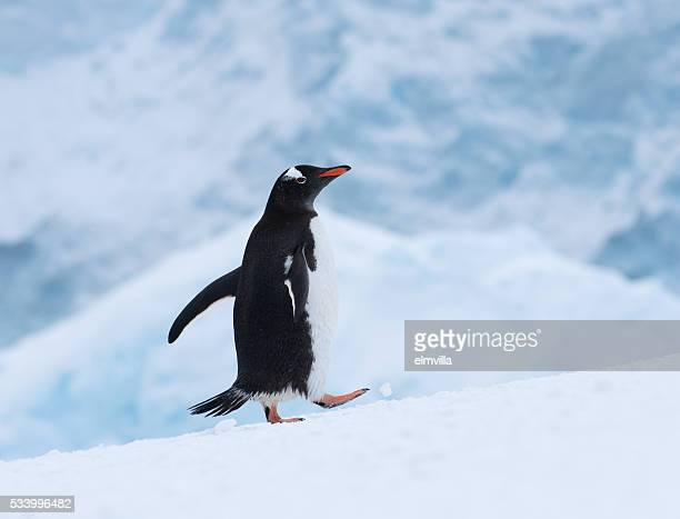 Gentoo penguin walking in snow in Antarctica