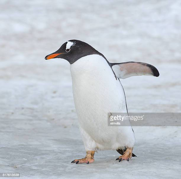 Gentoo penguin walking on snow in Antarctica