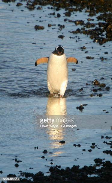 A Gentoo penguin walks in the sea at New Haven in the Falkland Islands