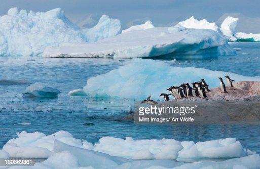 Gentoo penguins, Antarctica : Stock Photo