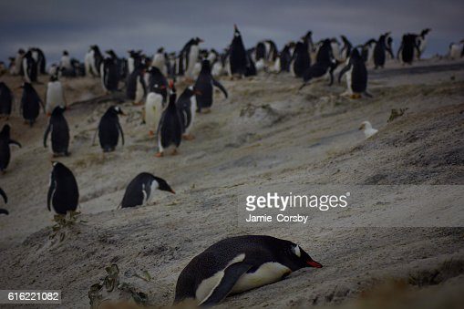 Gentoo Penguins at volunteer point : Stock Photo