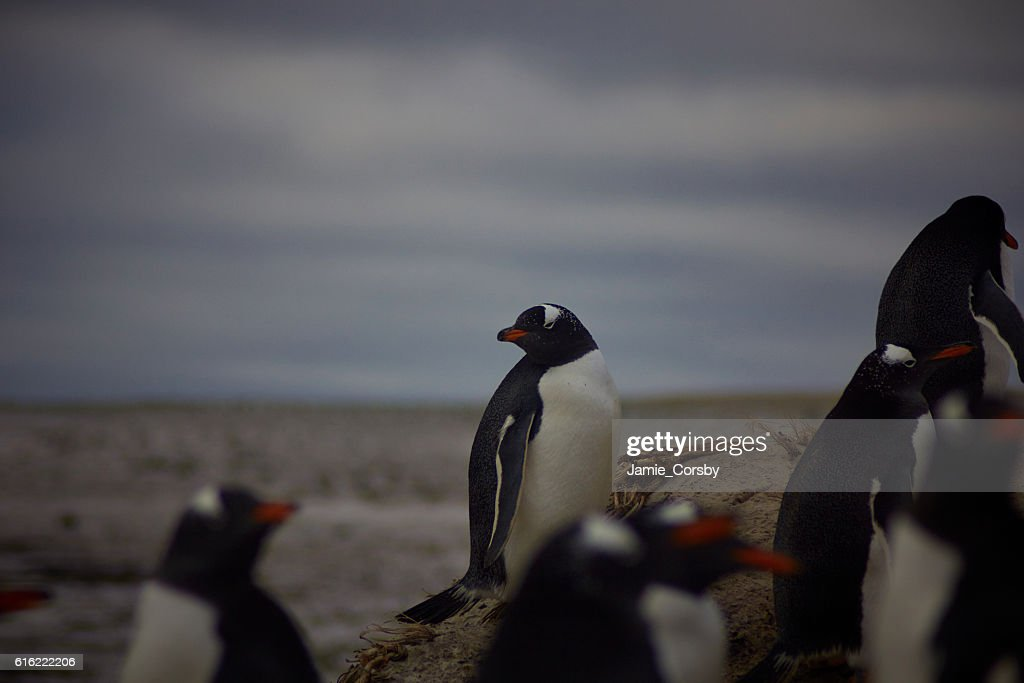 Gentoo Penguins at volunteer point : Bildbanksbilder