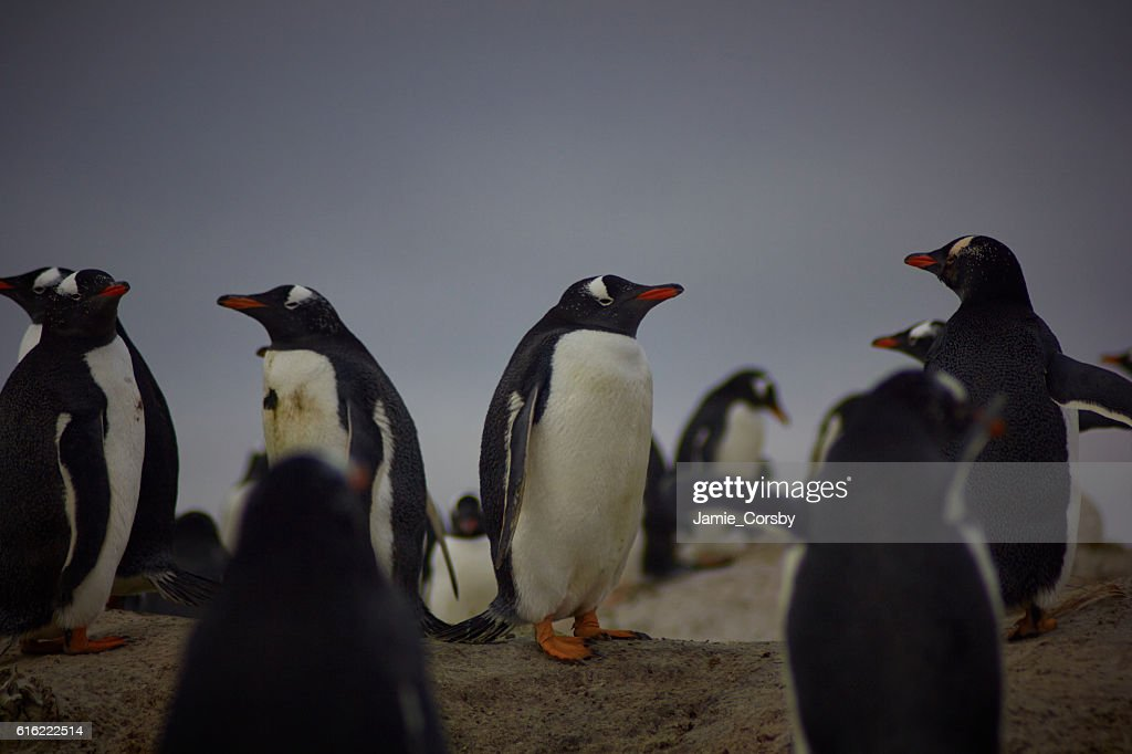 Gentoo Penguins at volunteer point : Stock-Foto