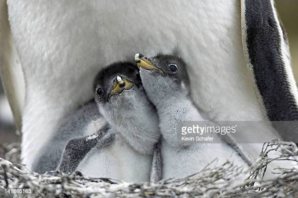 Gentoo Penguins (Pygoscelis papua). Chicks on nest with adult. November. Falkland Islands