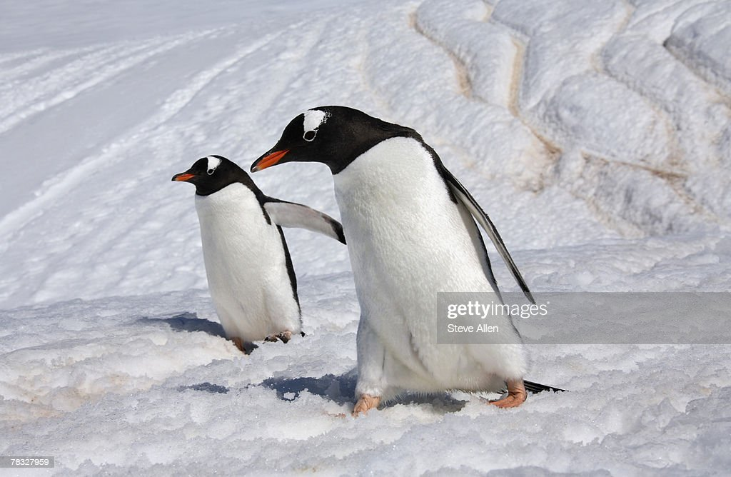Gentoo penguins in Danko Island, Antarctica : Stock Photo