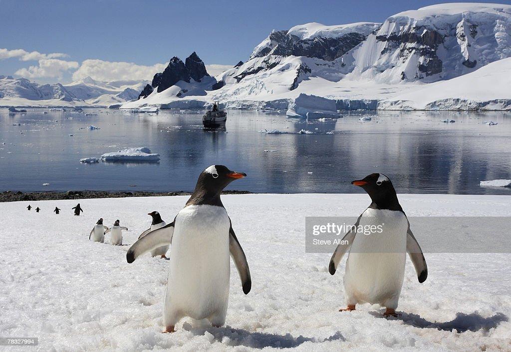 Gentoo penguins on Danko Island, Antarctica : Stock Photo