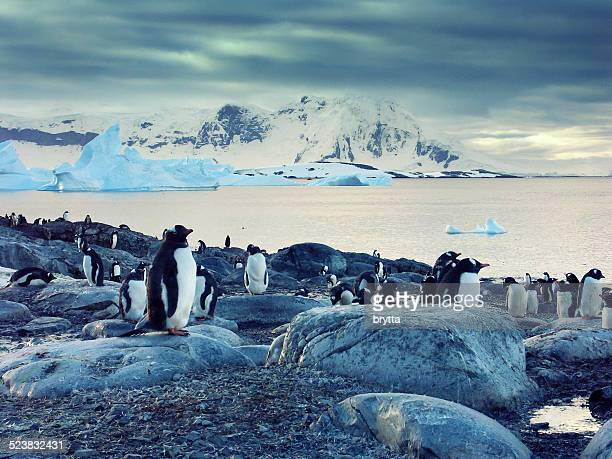 Pingüinos gentú en la península antártica