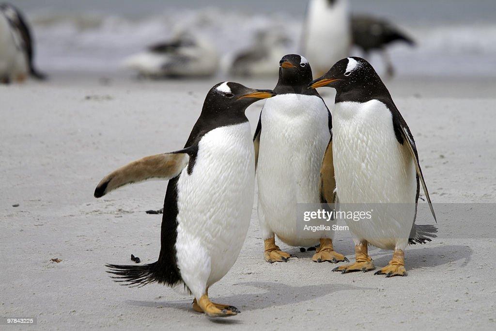 Gentoo Penguins : Stock Photo