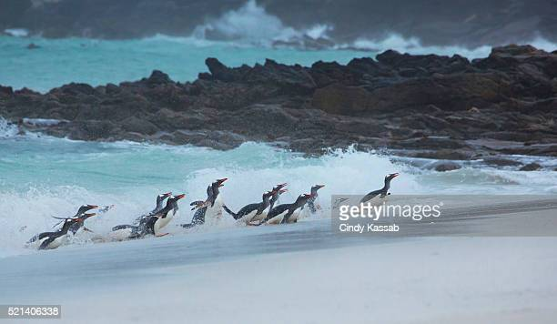 Gentoo Penguins Returning to Shore after a Fishing Trip